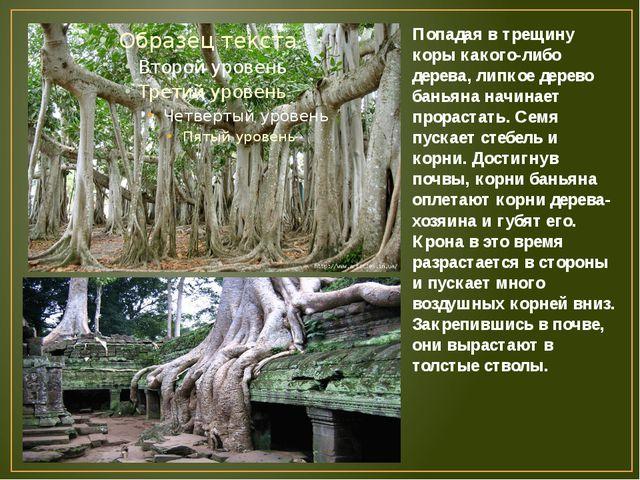 Попадая в трещину коры какого-либо дерева, липкое дерево баньяна начинает про...