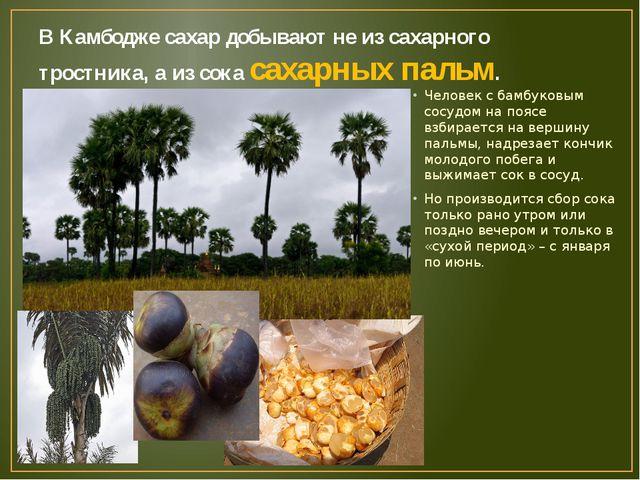 В Камбодже сахар добывают не из сахарного тростника, а из сока сахарных пальм...