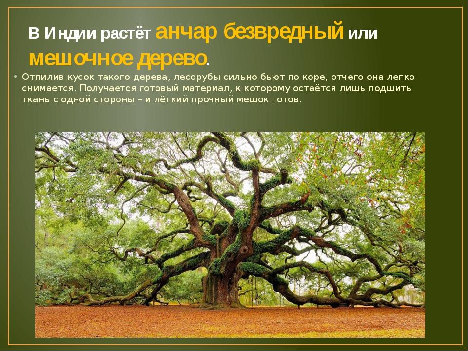 В Индии растёт анчар безвредный или мешочное дерево. Отпилив кусок такого дер...