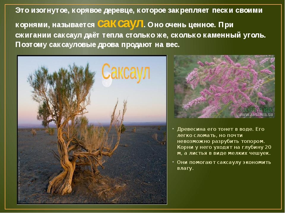 Это изогнутое, корявое деревце, которое закрепляет пески своими корнями, назы...