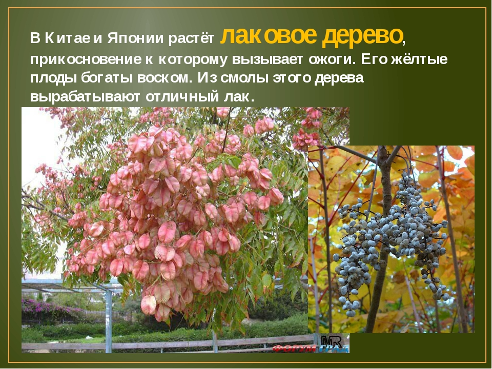 В Китае и Японии растёт лаковое дерево, прикосновение к которому вызывает ожо...