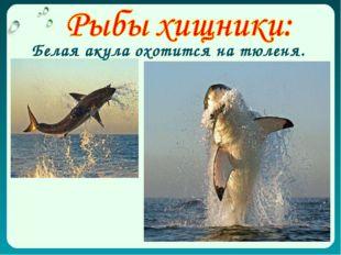 Белая акула охотится на тюленя.