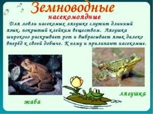 насекомоядные Для ловли насекомых лягушке служит длинный язык, покрытый клейк