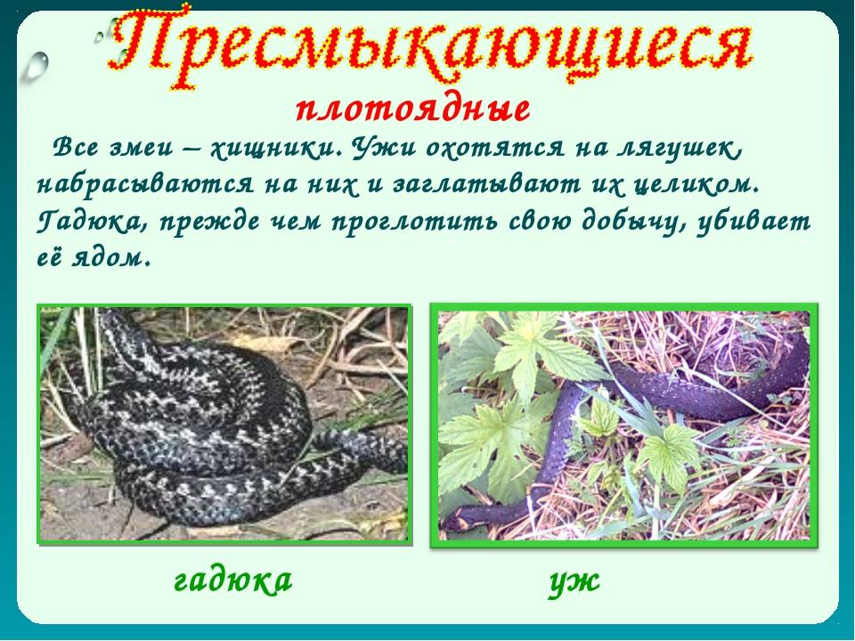 плотоядные Все змеи – хищники. Ужи охотятся на лягушек, набрасываются на них...