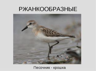 РЖАНКООБРАЗНЫЕ Песочник - крошка