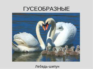ГУСЕОБРАЗНЫЕ Лебедь-шипун