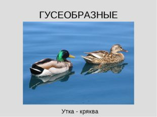 ГУСЕОБРАЗНЫЕ Утка - кряква