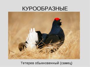 КУРООБРАЗНЫЕ Тетерев обыкновенный (самец)