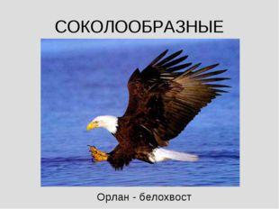 СОКОЛООБРАЗНЫЕ Орлан - белохвост
