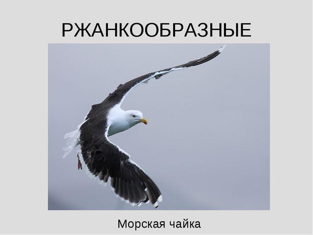 РЖАНКООБРАЗНЫЕ Морская чайка