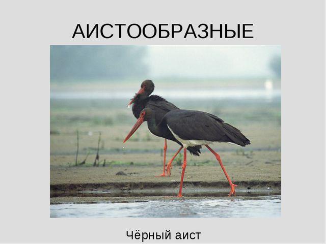АИСТООБРАЗНЫЕ Чёрный аист
