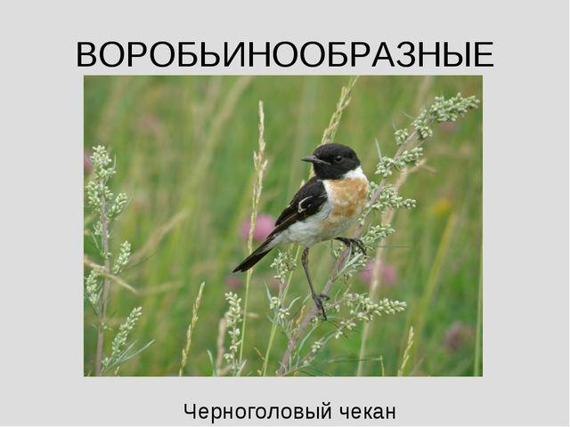 ВОРОБЬИНООБРАЗНЫЕ Черноголовый чекан