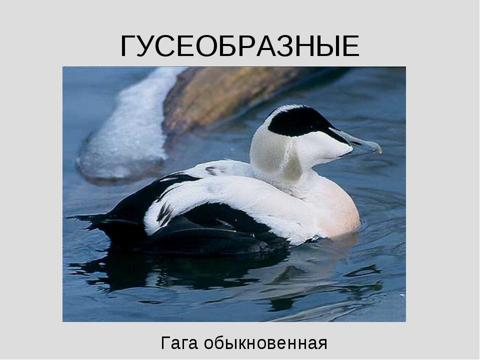 ГУСЕОБРАЗНЫЕ Гага обыкновенная