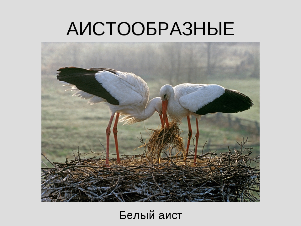 АИСТООБРАЗНЫЕ Белый аист