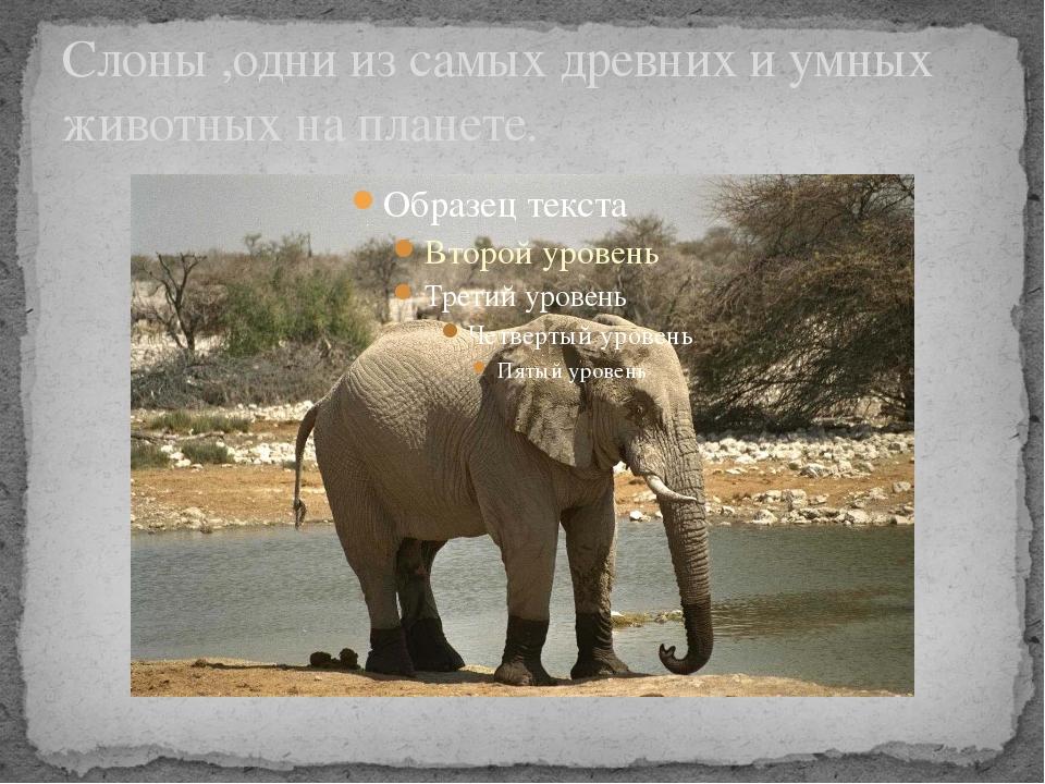 Слоны ,одни из самых древних и умных животных на планете.