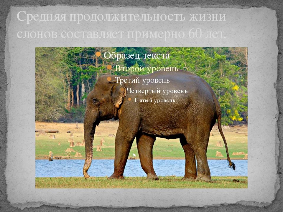 Средняя продолжительность жизни слонов составляет примерно 60 лет.