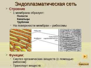 Эндоплазматическая сеть Строение 1 мембрана образует: Полости Канальцы Трубоч