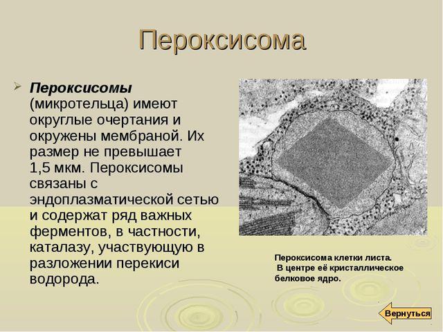 Пероксисома Пероксисомы (микротельца) имеют округлые очертания и окружены мем...