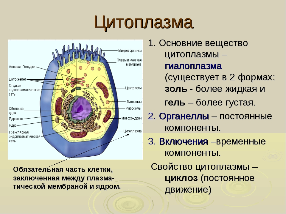 Цитоплазма 1. Основние вещество цитоплазмы – гиалоплазма (существует в 2 форм...
