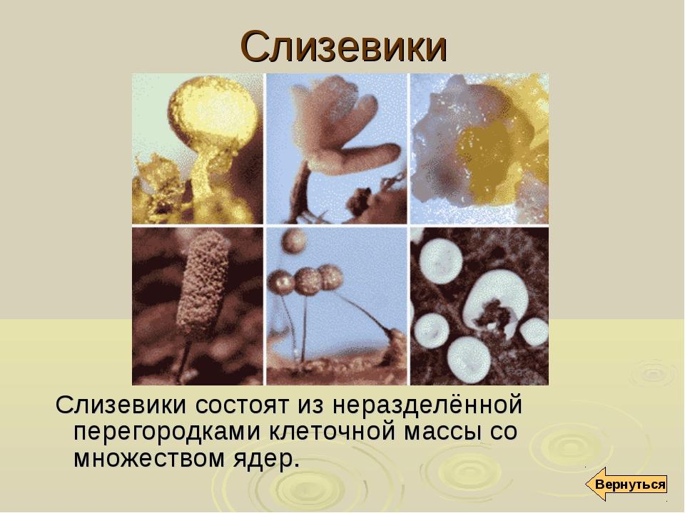 Слизевики Слизевики состоят из неразделённой перегородками клеточной массы со...