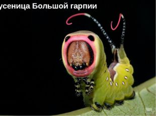 Гусеница Большой гарпии