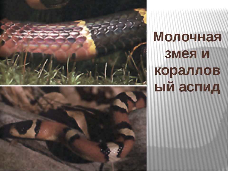Молочная змея и коралловый аспид