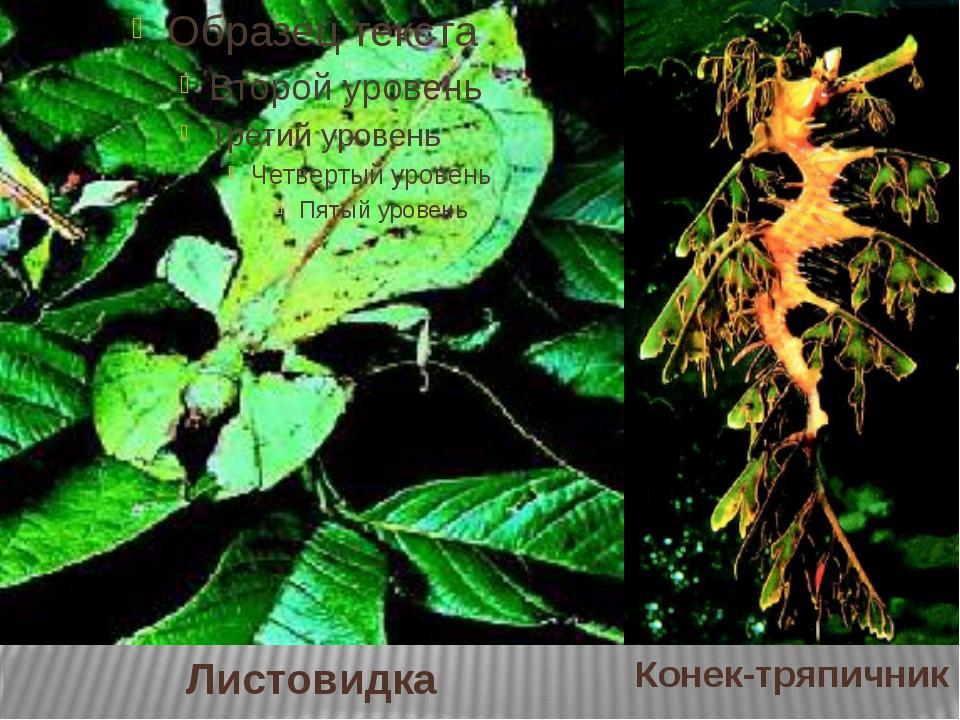 Листовидка Конек-тряпичник