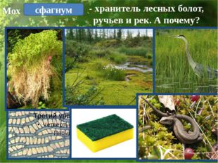 - хранитель лесных болот, ручьев и рек. А почему? сфагнум Мох