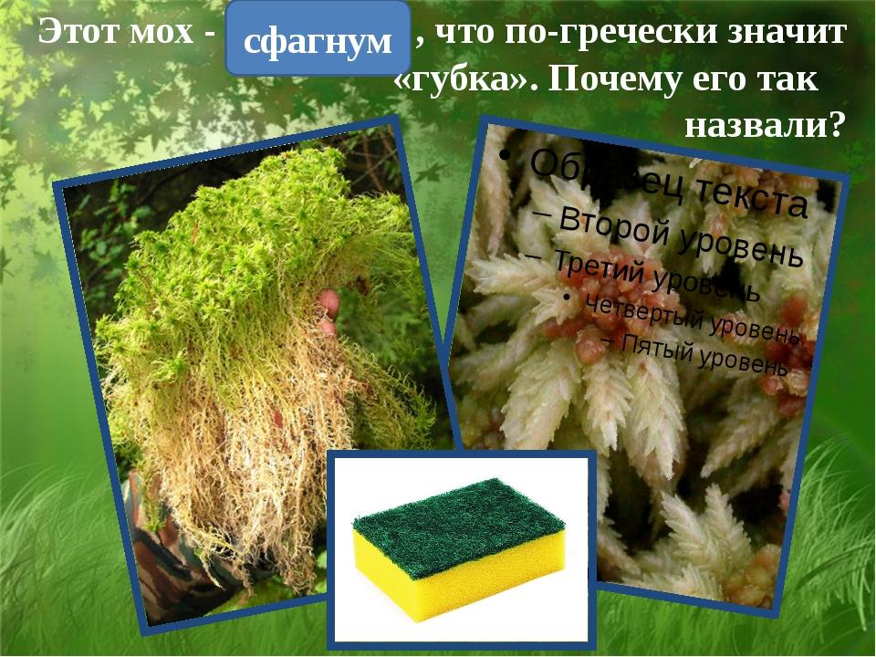 сфагнум Этот мох - , что по-гречески значит «губка». Почему его так назвали?