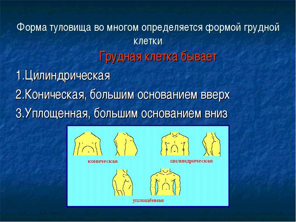 Форма туловища во многом определяется формой грудной клетки Грудная клетка бы...