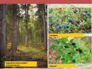 Голубика Черника Кедровник разнотравно-зеленомошный