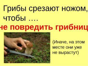 Грибы срезают ножом, чтобы …. не повредить грибницу (Иначе, на этом месте они