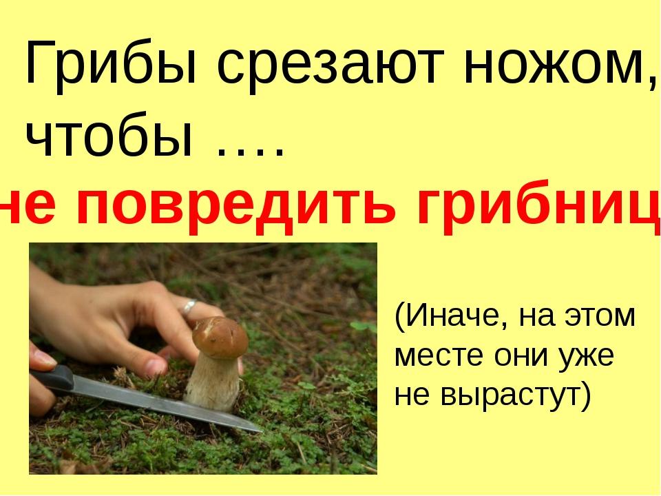 Грибы срезают ножом, чтобы …. не повредить грибницу (Иначе, на этом месте они...