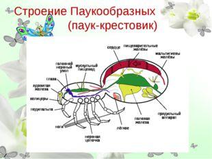 Строение Паукообразных (паук-крестовик)