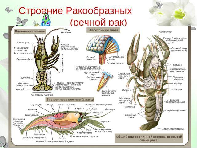 Строение Ракообразных (речной рак)