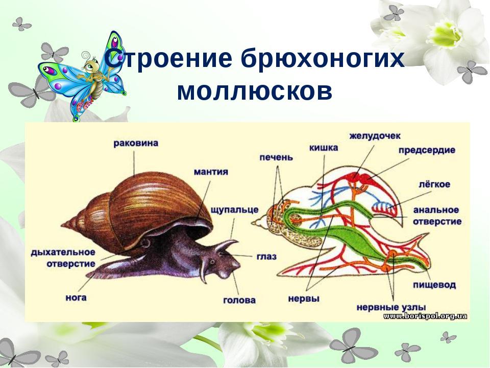 Строение брюхоногих моллюсков