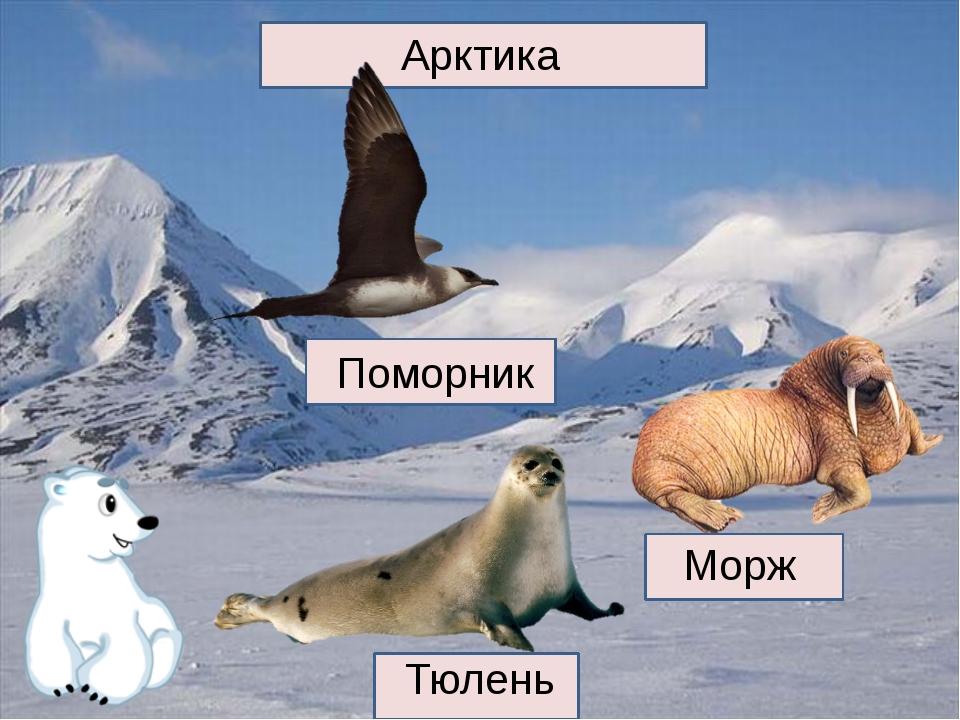 Арктика Поморник Тюлень Морж