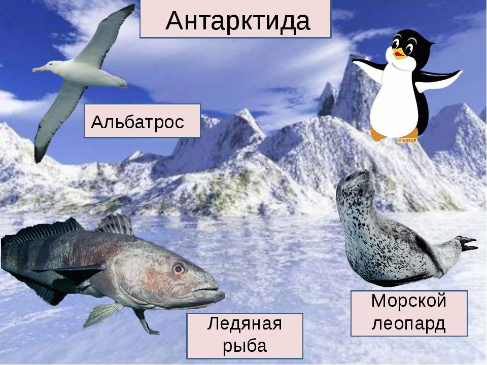Антарктида Альбатрос Ледяная рыба Морской леопард