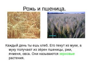 Рожь и пшеница. Каждый день ты ешь хлеб. Его пекут из муки, а муку получают и