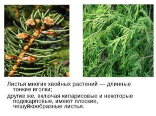 Листья многих хвойных растений— длинные тонкие иголки; другие же, включая ки