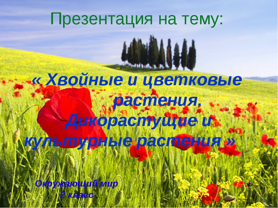 Презентация на тему: « Хвойные и цветковые растения. Дикорастущие и культурны...