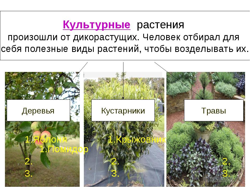 1.Яблоня 1.Крыжовник 1.Помидор 2. 2. 2. 3. 3. 3. Культурные растения произош...