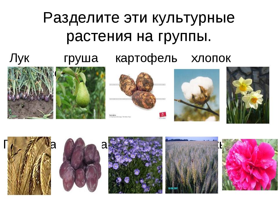 Разделите эти культурные растения на группы. Лук груша картофель хлопок нарци...