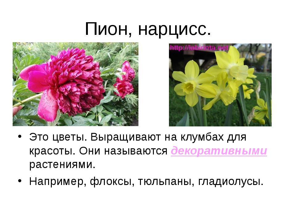Пион, нарцисс. Это цветы. Выращивают на клумбах для красоты. Они называются д...