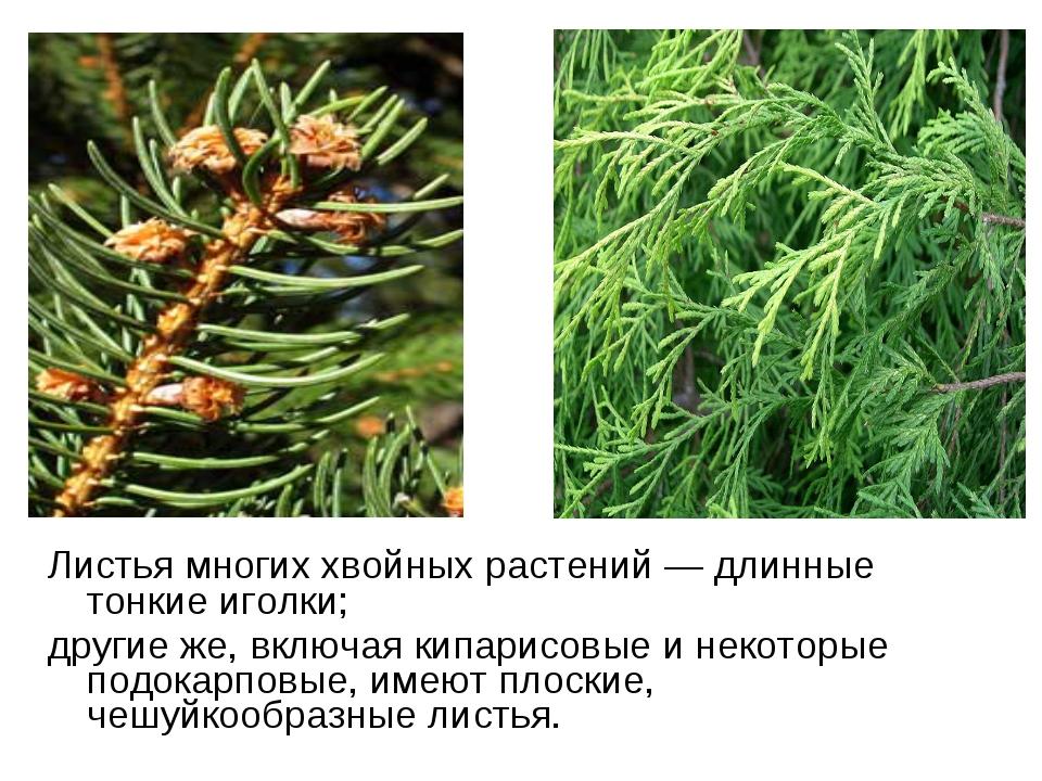 Листья многих хвойных растений— длинные тонкие иголки; другие же, включая ки...