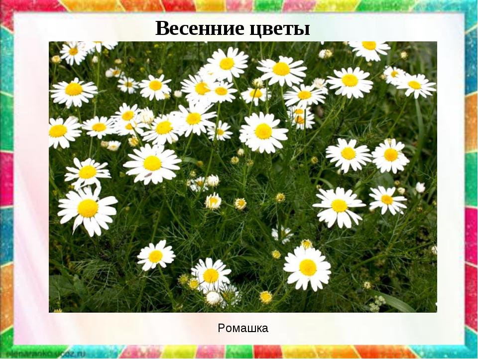Весенние цветы Ромашка