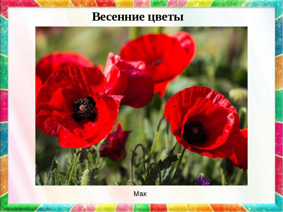 Весенние цветы Мак