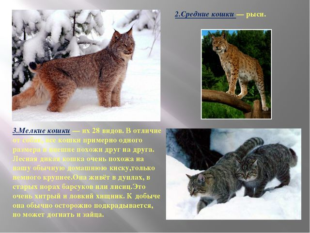 2.Средние кошки — рыси. 3.Мелкие кошки — их 28 видов. В отличие от собак, все...