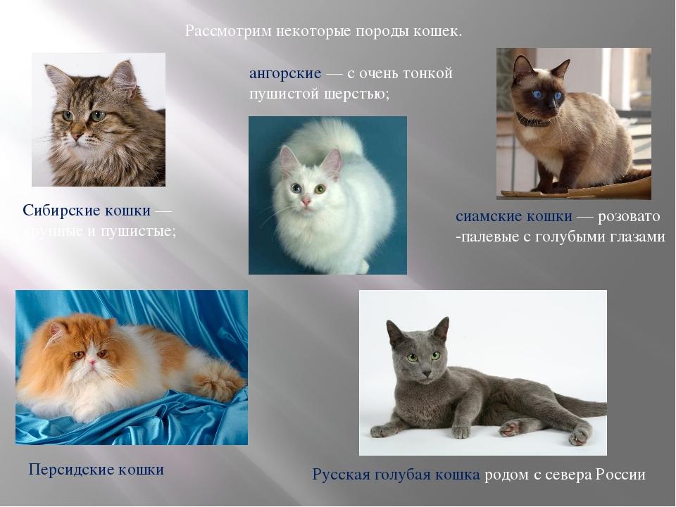 Рассмотрим некоторые породы кошек. Сибирские кошки — крупные и пушистые; анг...