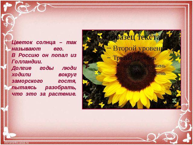 Цветок солнца – так называют его. В Россию он попал из Голландии. Долгие годы...